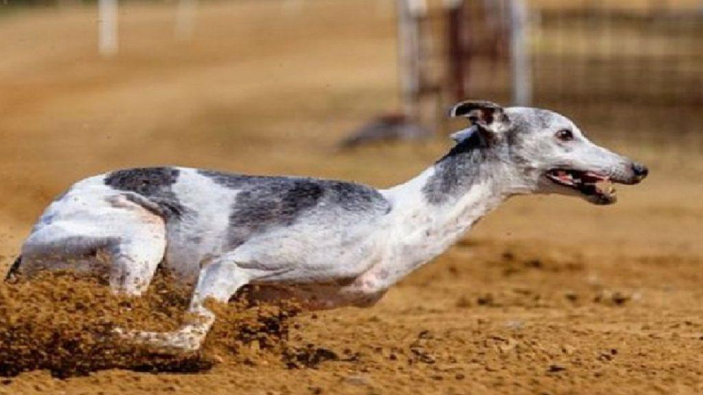 Грейхаунд – самая быстрая порода собак