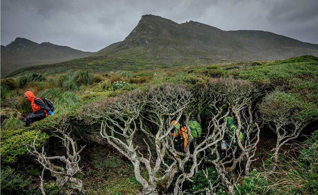 Нотофагус берёзовый: самое южное дерево в мире