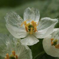 Diphylleia grayi – удивительный цветок-скелет