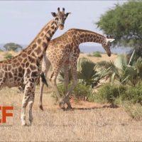 Самые маленькие жирафы в мире: Гимли и Найджел