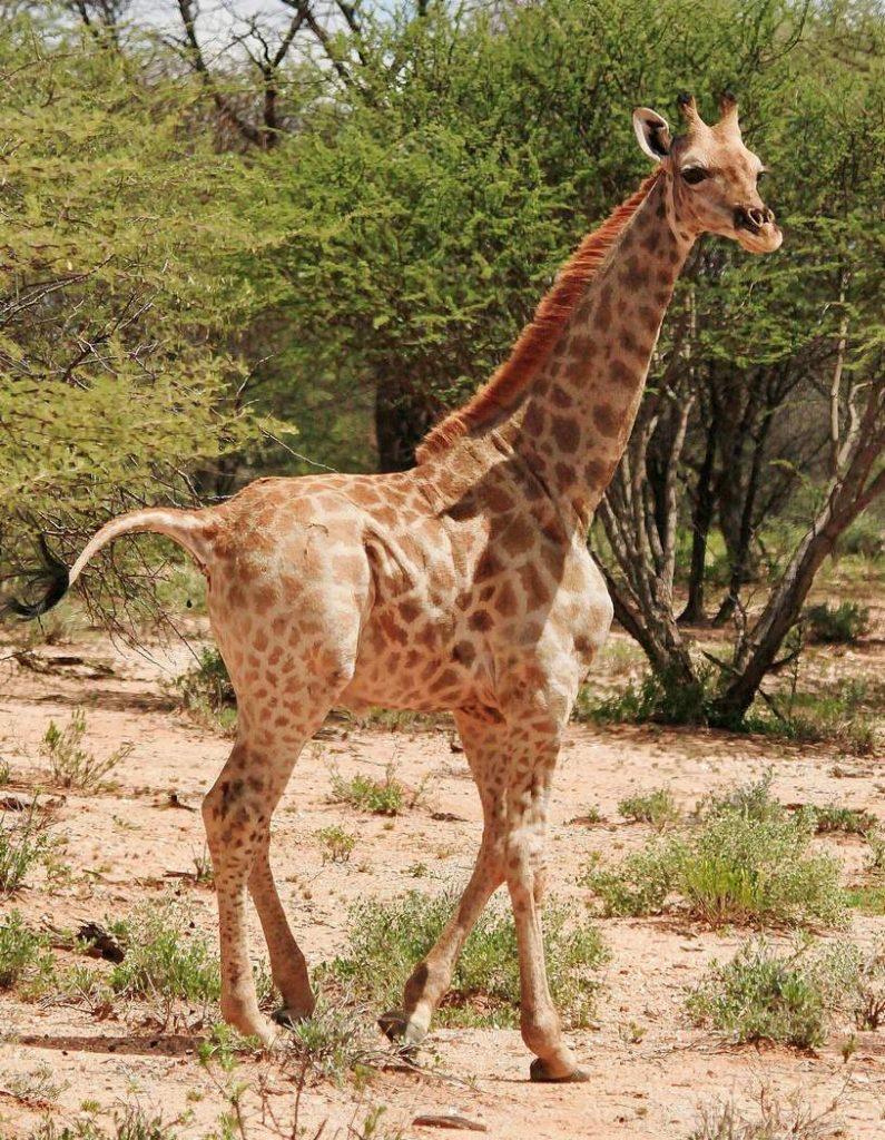 Самые маленькие в мире жирафы Гимли и Найджел