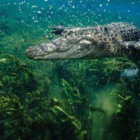 Defibrillate you later, alligator: сердца аллигаторов защищены от аритмии