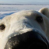 27 февраля: Международный день полярного медведя