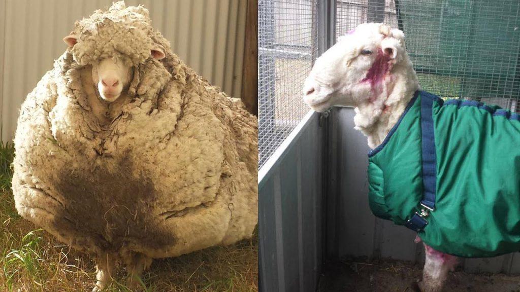 Крис – самая шерстистая овца в мире