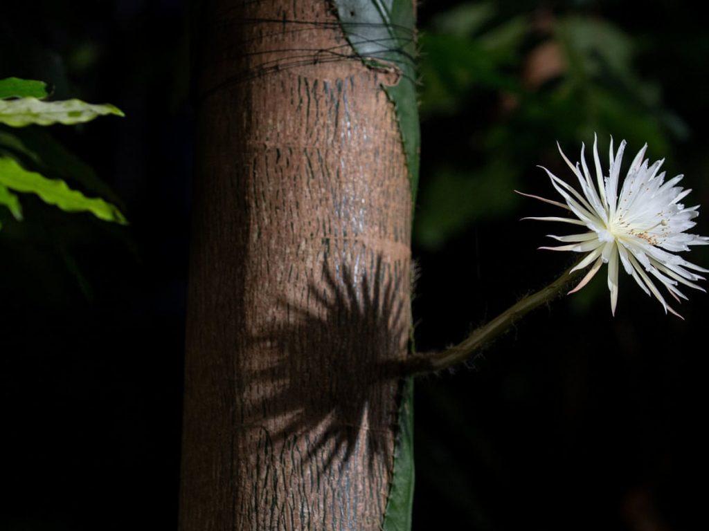 В Британии впервые зацвёл лунный кактус Strophocactus wittii