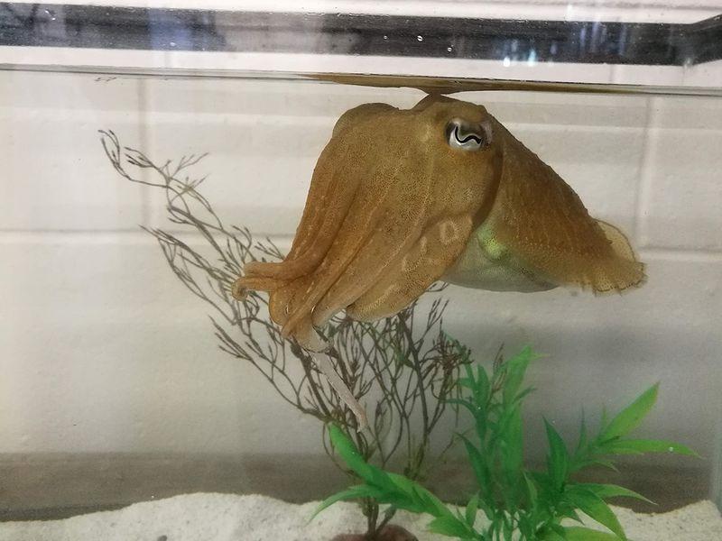 Каракатицы преуспели в стэндфордском зефирном эксперименте