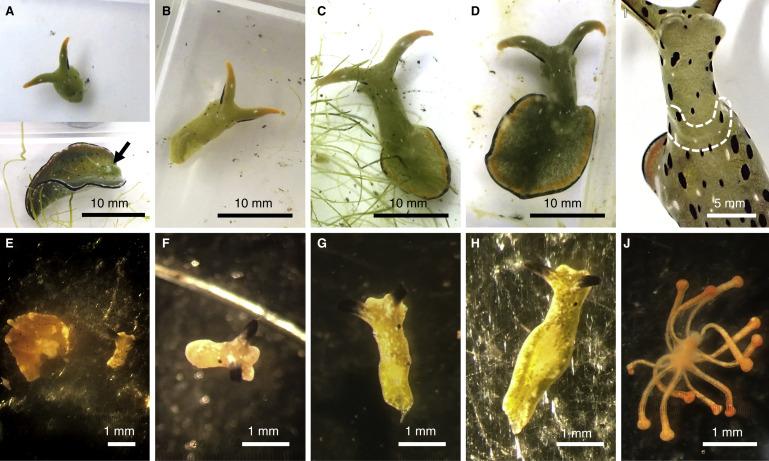 Экстремальная регенерация морских слизней Elysia cf. marginata и E. atroviridis