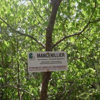 Манцинелла — самое ядовитое дерево в мире