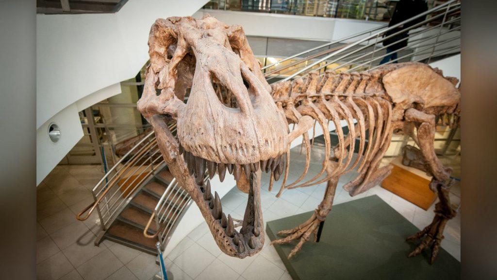 Как палеонтологи тираннозавров считали
