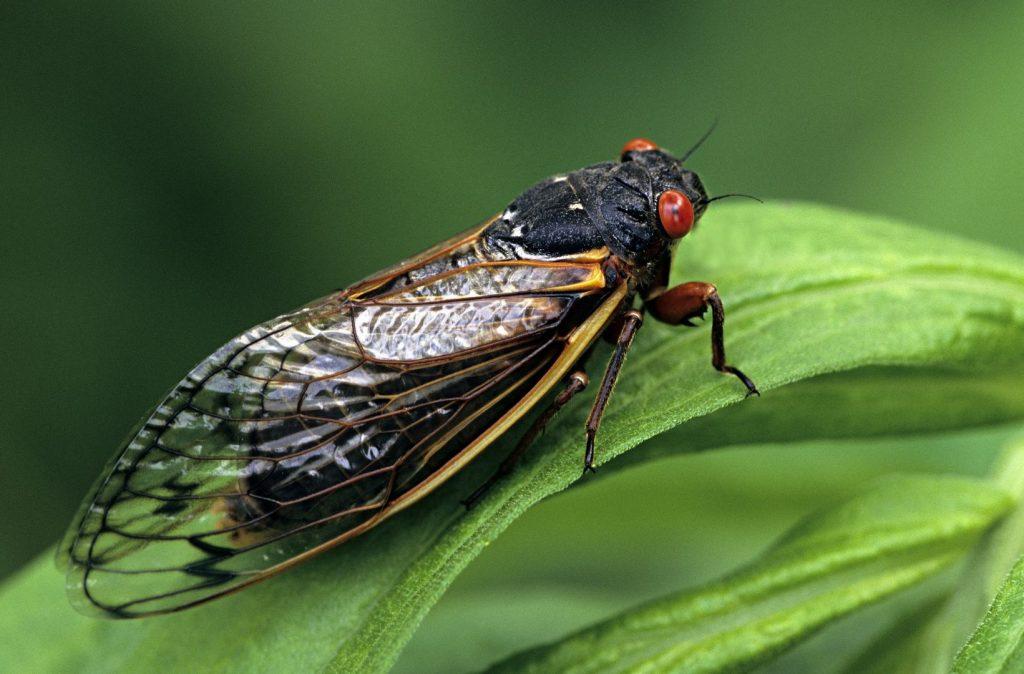 Выводок X: США готовятся к нашествию миллиардов цикад