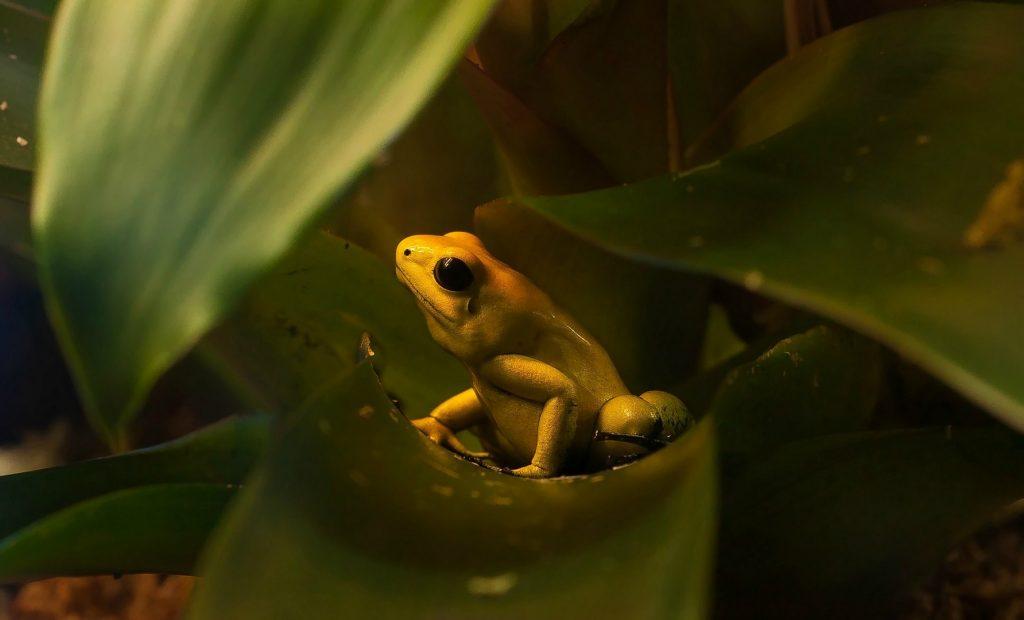 Ужасный листолаз – самая ядовитая лягушка в мире