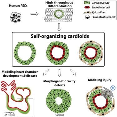 Австрийские учёные создали самоорганизующиеся кардиоиды