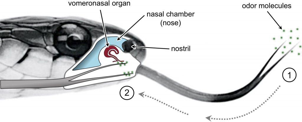 Стерео-обоняние: зачем змеям нужен раздвоенный язык?