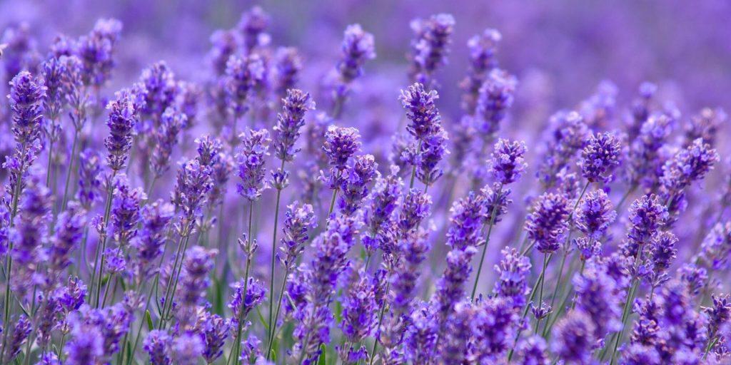 Учёные разгадали секрет чувственного аромата лаванды