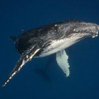 Американский дайвер едва не стал ужином горбатого кита