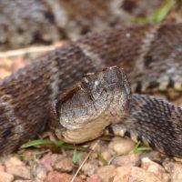 Суперклей для ран из яда змеи Кайсаки