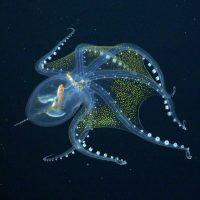 Vitreledonella richardi: глубоководный стеклянный осьминог