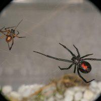 Чёрная вдова: интересные факты о самых знаменитых пауках