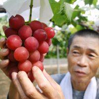 Ruby Roman: самый дорогой сорт винограда в мире