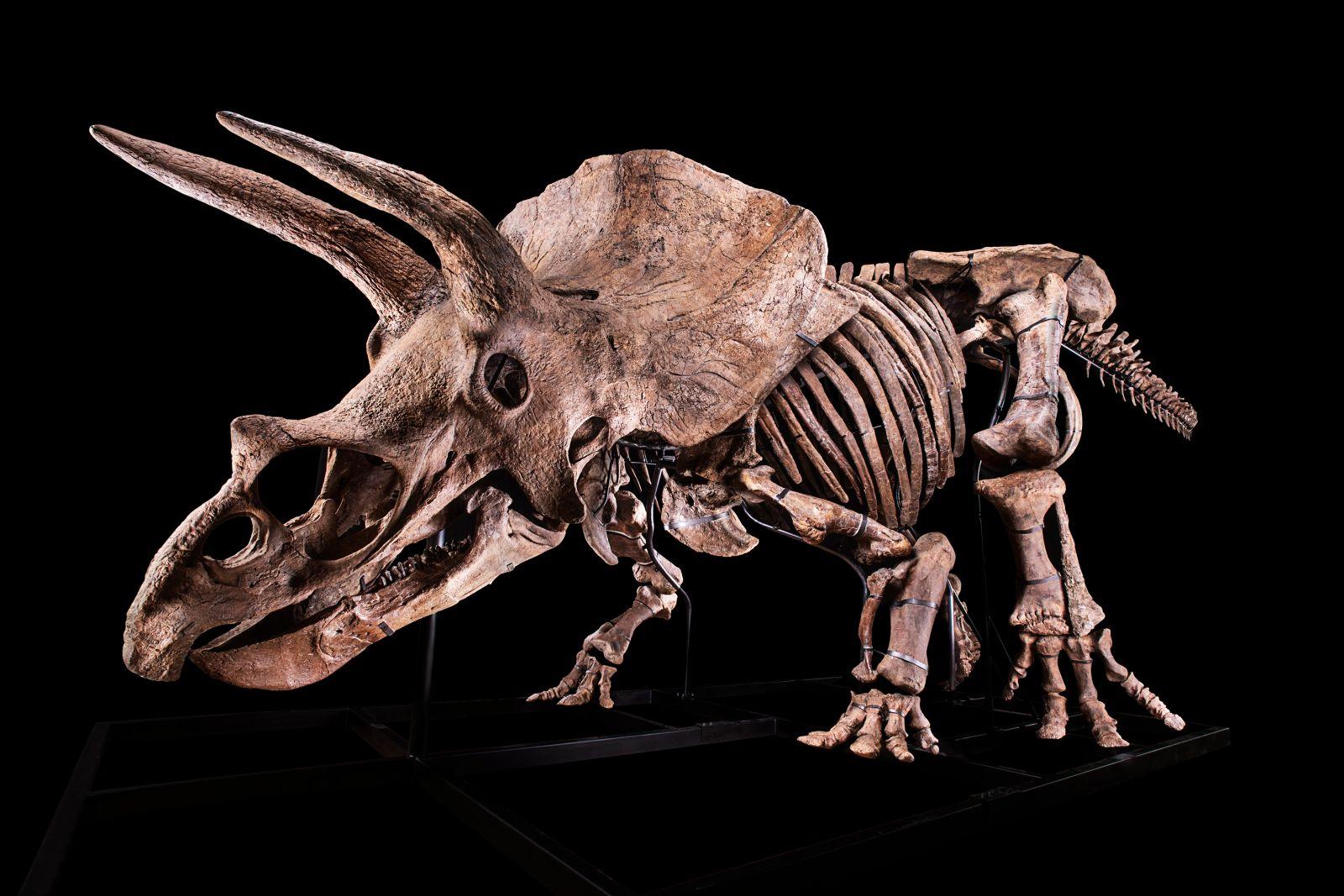 Большой Джон: скелет гигантского трицератопса выставили на аукцион