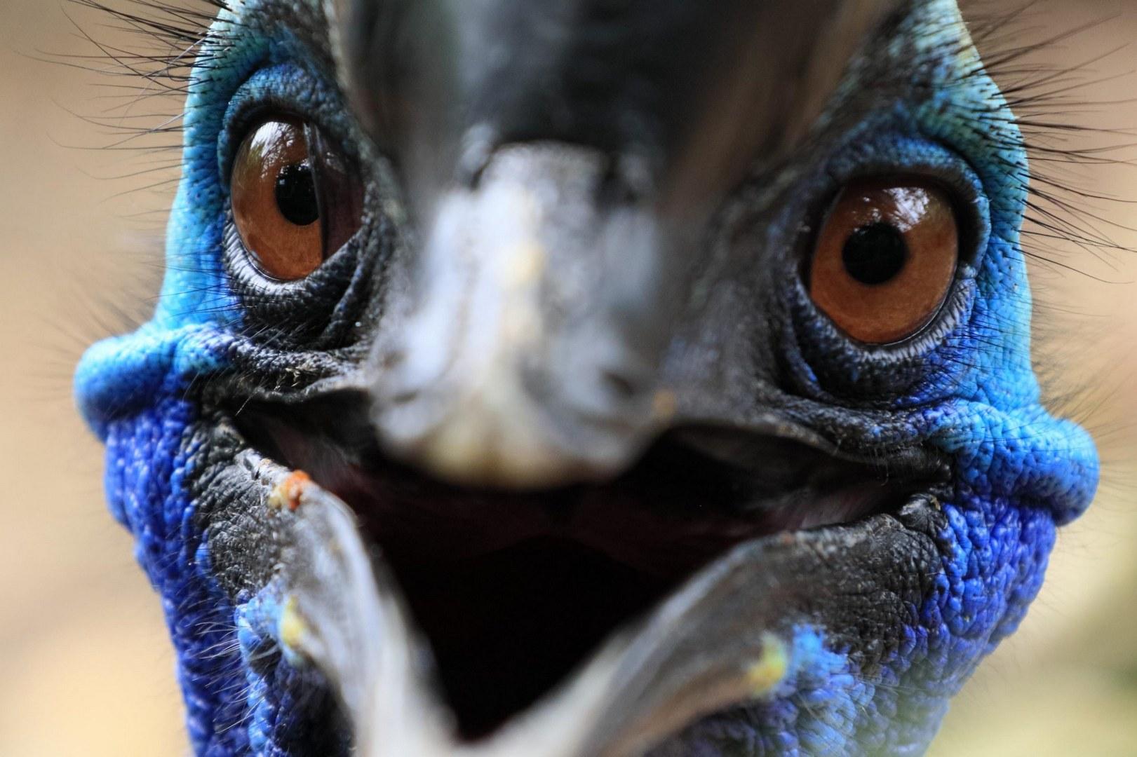 Казуары – самые опасные птицы в мире